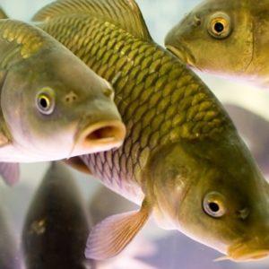 Черкаська ТЕЦ сприяє відновленню водних біоресурсів